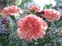 carnation flowers growing carnations from seed and the caring typesofflower