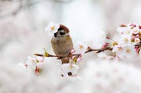 cherry blossoms a big hit for birds in qingdao city 5 chinadaily