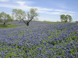 Bluebonnet Flowers - where to look for texas bluebonnets travel dallas news
