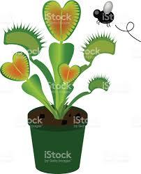 venus flytrap stock vector art 97995457 istock