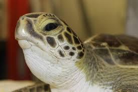 national aquarium animal rescue update 11 turtle patients ready