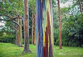 rainbow eucalyptus buy live tree archives va home and garden