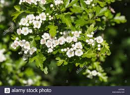 tree with white flowers hawthorn or may tree crataegus white flowers in surrey