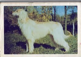 afghan hound saddle bakhmull wikiwand