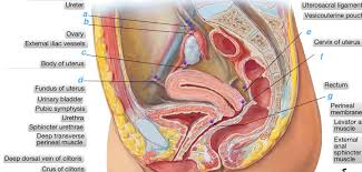 Human Anatomy Cervix Estrogen Dominance Menopause Fibroids Ovarian Cysts