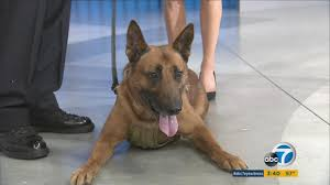 belgian shepherd los angeles lapd k 9 edo nominated for the 2016 american hero dog award abc7 com