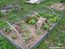 in my kitchen garden growing in the raised vegetable beds right