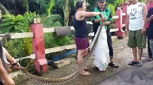 film ular phyton warga tangkap ular sanca ukuran 3 meter di kali pesanggrahan kumparan
