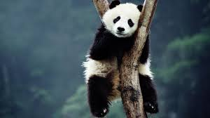 panda study this is why they u0027re black and white time com