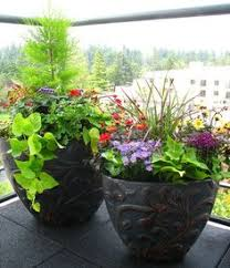 conifers conifer trees containers small ornamental trees