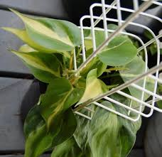houseplant trellis houseplants forum have a question about a philodendron going from
