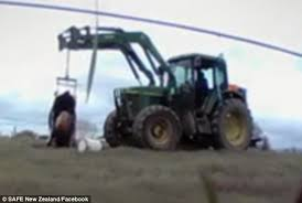 Cow And Chicken The Girls Bathroom Cow Dragged By Tractor Using Hip Clamps After Calf Died During