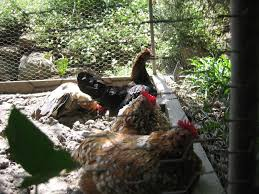 using diatomaceous earth in backyard poultry keeping community