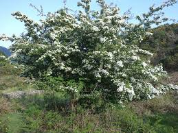 native plants of ireland sacred and magical trees forestry focus