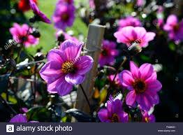 dahlia happy single juliet pink purple dahlias flower flowers