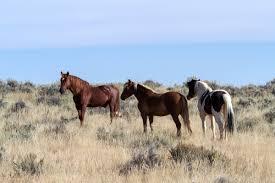 mustang horse free images pasture grazing stallion mane fauna vertebrate