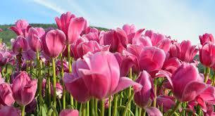 Skagit Valley Tulip Festival Bloom Map Attractions Wild Iris Boutique Inn La Connor Wa
