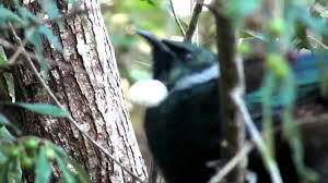 Tuis Tui Bird Sounds Youtube