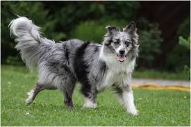 australian shepherd and border collie mix our breeds international stock dog breeder registry