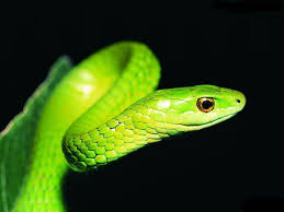 snakes wallpapers wallpaper cave