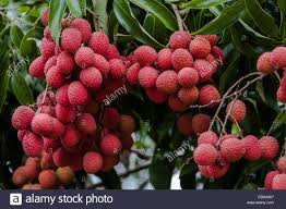 lychee fruit peeled ripe lychee fruit on tree in the plantation stock photo royalty