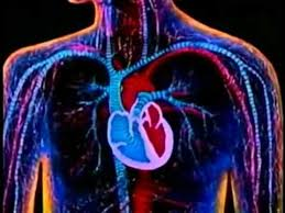 Heart Anatomy Youtube 40 Best Heart Project Images On Pinterest Teaching Science