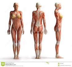 Human Anatomy Male Anatomy Of The Abdomen Back View Human Stomach Anatomy Male