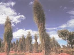 native australian desert plants mulga woodlands