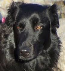 belgian shepherd labrador retriever mix the journey unexpected wordless wednesday