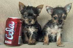 short haired chorkie chorkie dog breed standards