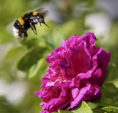 native plants for bees how do you attract bumble bees u2013 plants that attract bumble bees
