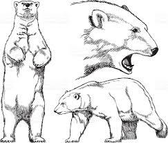 drawn polar bear standing bear pencil and in color drawn polar