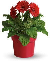 gerbera plant personalised flowers delivery in delhi india printing on flowers
