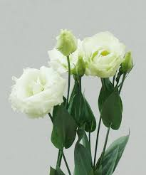 Wholesale Fresh Flowers These Are Nice Available In March Wholesale Lisianthus