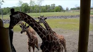 Columbus Zoo Lights Hours by Columbus Zoo Heart Of Africa Giraffe Feeding Youtube