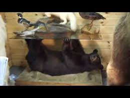 black bear coffee table alaska to maine taxidermy at the sportsmen show youtube