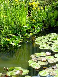 native british pond plants try using aspirin water for fighting plant diseases crush and