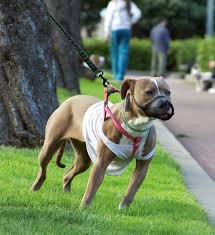american pit bull terrier pictures diet breeding life cycle