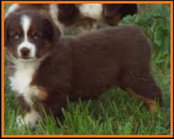 mini australian shepherd 8 weeks mini aussie pup for sale 2014 litter 5 callie pup 4 blue eyed