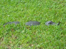 11 best alligators images on yard alligators and