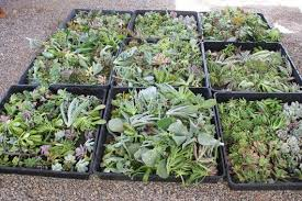 100 beautiful succulent cuttings perfect for wall gardens wreath
