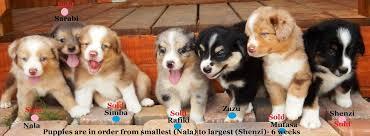 australian shepherd 10 weeks miniature australian shepherd puppies at bond
