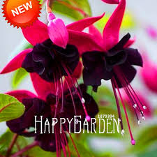 petals for sale hot sale purple petals fuchsia seeds potted flower seeds