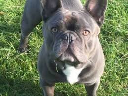 french bulldog dogs and puppies for stud in crewe pets4homes