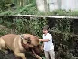 belgian sheepdog vs belgian malinois belgian malinois