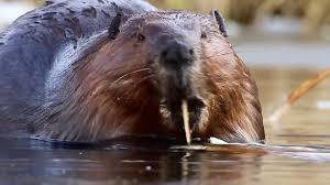 the beaver youtube