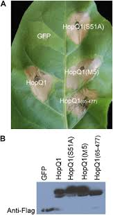 the pseudomonas syringae effector hopq1 promotes bacterial