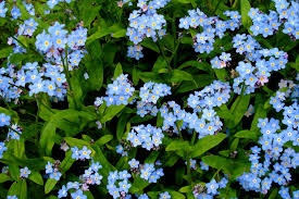 Flowers Near Me - forget me not flowers how to grow forget me nots