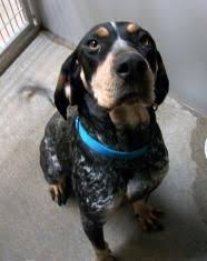 bluetick coonhound dander view our animals warning danger danger dangerous shelter