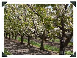 how to prune cherry apricot trees country trading co